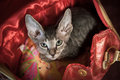 Pedigreed sphynx cat velur kitten in a ladies handbag Royalty Free Stock Photography