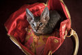 Pedigreed sphynx cat velur kitten in a ladies handbag Stock Photography