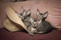 Pedigreed sphynx cats four velur kitten look out from the hats Stock Photography