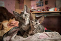 Pedigreed sphynx cats two velur kitten closely watch Stock Images