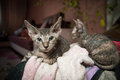 Pedigreed sphynx cats two velur kitten resting alone in the room Stock Photography