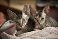 Pedigreed sphynx cats two velur kitten resting alone in the room Royalty Free Stock Images
