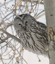 Peek-a-Boo Ural Owl Royalty Free Stock Photo