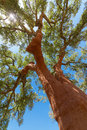 Peeled cork oaks tree on blue sky background Stock Image