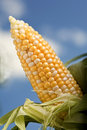 Peeled Corn on the Cob Royalty Free Stock Photos