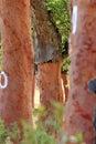 Peeled trunks of cork oaks in Alentejo, Portugal Royalty Free Stock Photo