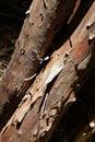 Peeling Bark Of Western Redced...