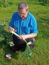 Peeling rhubarb senior man in garden stalk Stock Photography
