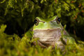 Peeping frog Royalty Free Stock Photo