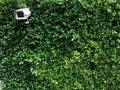 Peeping tom on a bush Royalty Free Stock Photo