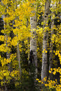 Peering through the aspen in wyoming or quaking leaves appear to quake or move wind these were sierra madre mountains of they Stock Photography