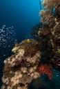 Peixes e coral de vidro no mar vermelho Imagem de Stock Royalty Free