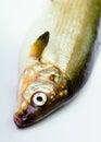 Peixes em um fundo branco herring Imagem de Stock Royalty Free