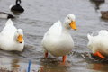 Pekin Ducks Royalty Free Stock Images