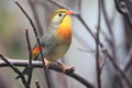 Pekin robin the sitting on the branch Stock Photo