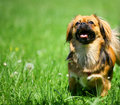 Pekingese Royalty Free Stock Image