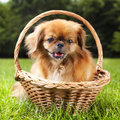 Pekingese cute is enjoying nature Stock Images