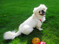 Pekingese dog Stock Images
