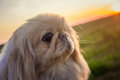 Pekingese dog on nature Royalty Free Stock Photo