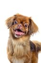 Pekingese dog portrait isolated on white background Royalty Free Stock Image