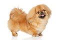 Pekingese dog in stand Royalty Free Stock Photo