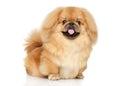 Pekingese happy dog Royalty Free Stock Photo