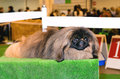 Pekingese lies. Royalty Free Stock Photo