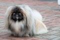 Pekingese, Lion Dog, Peke. Royalty Free Stock Photo