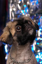 Pekingese portrait Royalty Free Stock Images