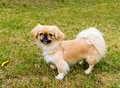 Pekingese stands. Royalty Free Stock Photo