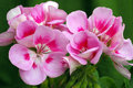 Pelargonium 'Americana Light Pink Splash' Stock Photos