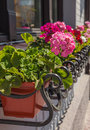 Pelargonium blooming in the sun on window city Stock Photography