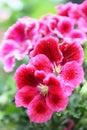Pelargonium closeup after the rain Royalty Free Stock Photo