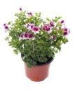 Pelargonium crispum Royalty Free Stock Photo