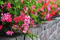 Pelargonium flowerbed Royalty Free Stock Photo
