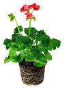 Pelargonium plant Stock Images