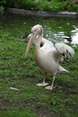 Pelecanus onocrotalus walking on the green grass near the pond Royalty Free Stock Photo