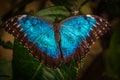 Peleides Blue Morpho Butterfly