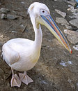 Pelican 10 Royalty Free Stock Photography