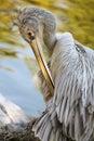 Pelican 6 Royalty Free Stock Photos