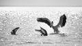 Pelican attacks gull, to take away fish Royalty Free Stock Photo