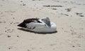Pelican: Beach Break Royalty Free Stock Photo