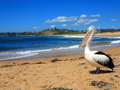 Pelican at beach scenery an australian resting a background seaside Stock Photos