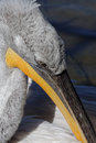 Pelican beak Royalty Free Stock Photo