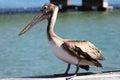 Pelican beautiful against skyway bridges Stock Images