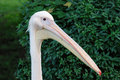 Pelican with big beak Royalty Free Stock Photography