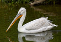 Pelican a big bird swimming on a pond Stock Photo