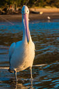 Pelican Bird Close Portrait  Royalty Free Stock Photography