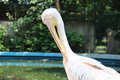 Pelican bird from the pelecanidae family this photo was taken in the bucharest zoo romania Stock Images