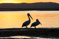 Pelican Birds Lagoon Sunset Royalty Free Stock Photography